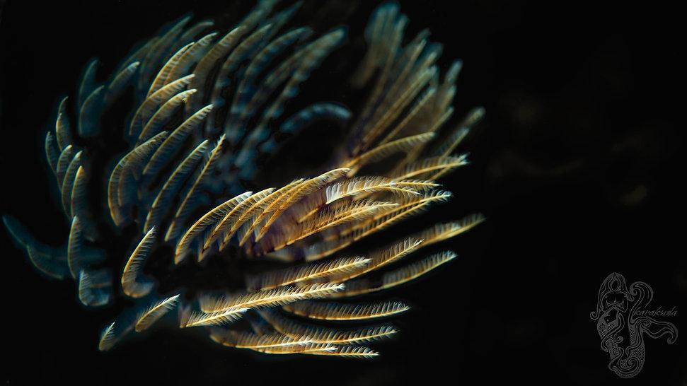SeaFeatherWM.jpg