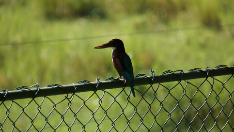 Kingfisher at the hotel