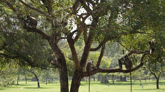 Cheeky monkey's around Ruwanwelisya