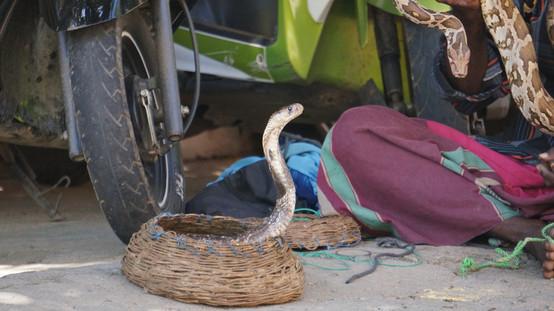 Cobra with a street snake charmer