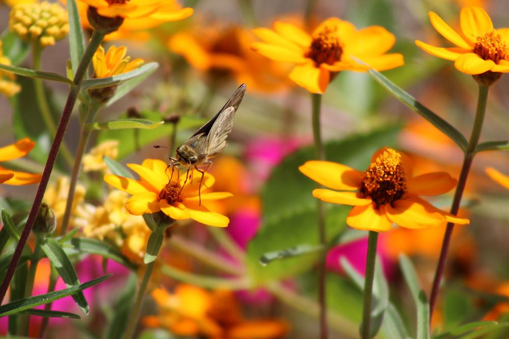 A Fiery Skipper drinks nectar from a flower.