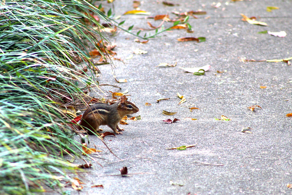 A chipmunk stands at the edge of some vegetative cover.