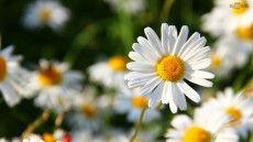 daisy-flower-hd-desktop-backround-1024x5