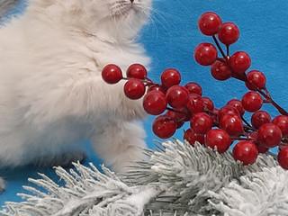 Котята от Bozhena и Cosmos