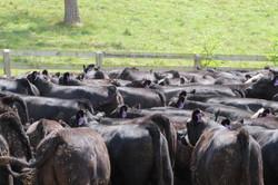 Evergreen Steer Backs all black