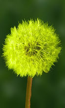 dandelion 4 vert jaune fluo.jpg