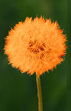 dandelion 4 orange.jpg