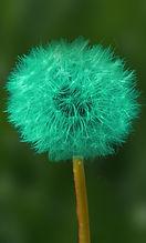 dandelion 4 bleu vert canard.jpg