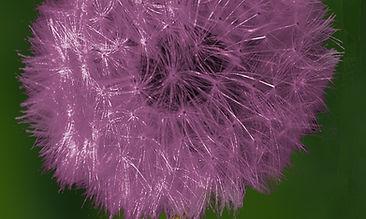 dandelion 4 violet.jpg
