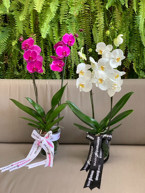 Mata de phalaenopsis 2 varas por unidad