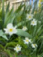 Daffodils 2020.jpg