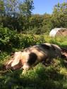 happy boar