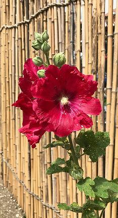 Rose_trémière_majestueuse.jpg