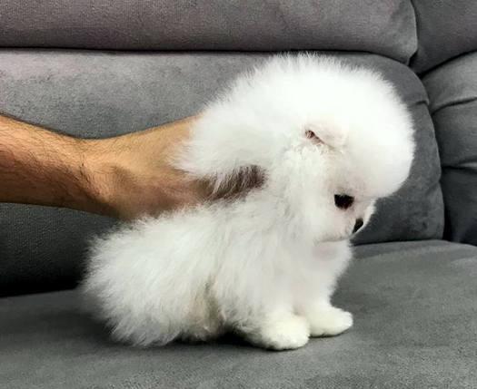 lulu branco neve