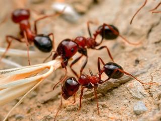 Australia's Biggest Pest Threat