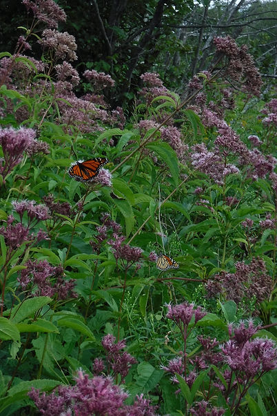 Joe-Pye weed patch.jpg