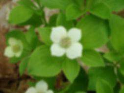 bunchberry flower, close-up.jpg