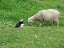 Puffin & Sheep, Hermaness, Unst, Shetland