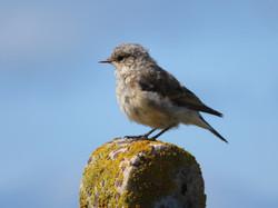 Juvenile Wheatear (Whitearse), Burravoe, Yell, Shetland