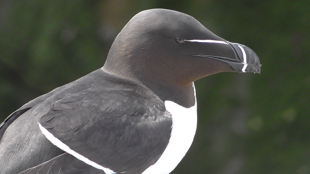Razorbill on the Farne Islands (Staple Island), Northumberland