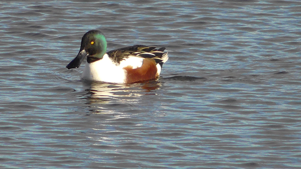Shoveler at Titchfield NNR, Hampshire