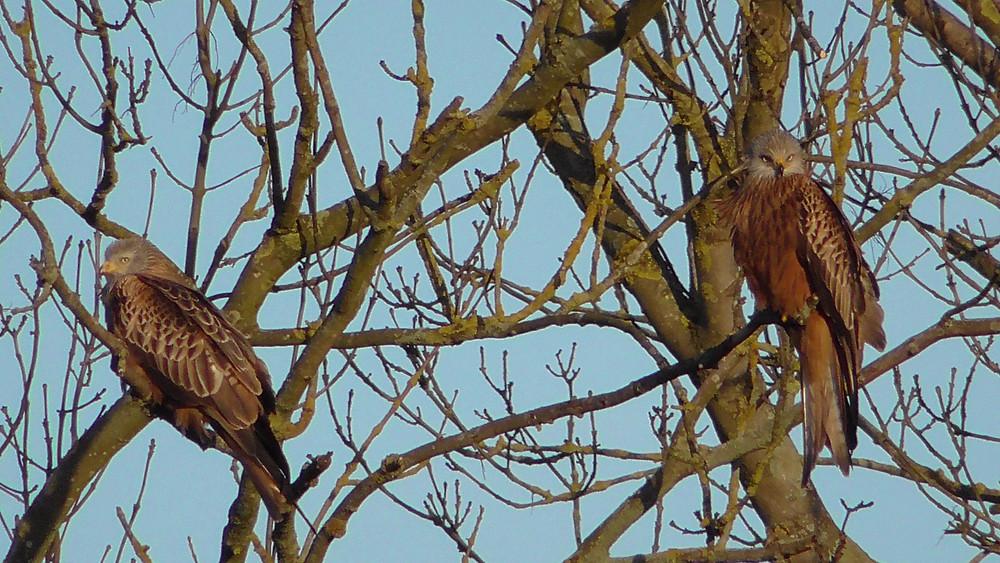 Red Kites, Ripley, Surrey