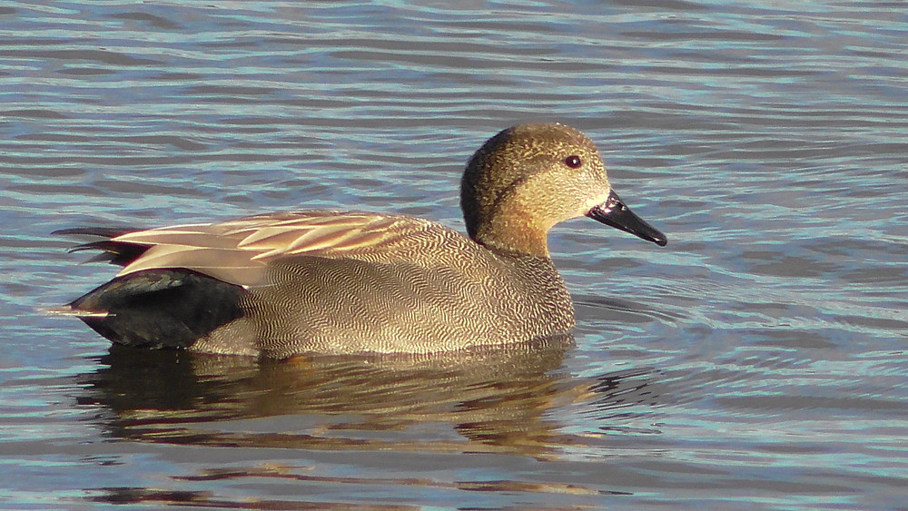 Gadwall at Titchfield NNR, Hampshire