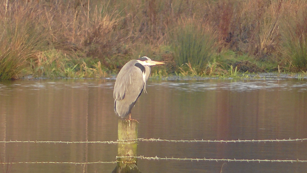 Grey Heron, Nutfield Marsh LNR, Redhill, Surrey