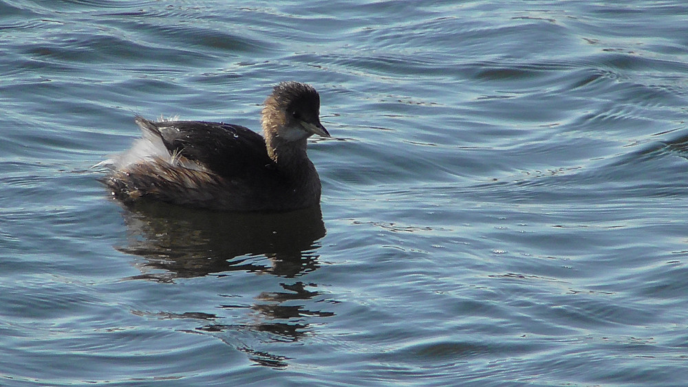 Little Grebe, Dungeness RSPB NNR, East Sussex