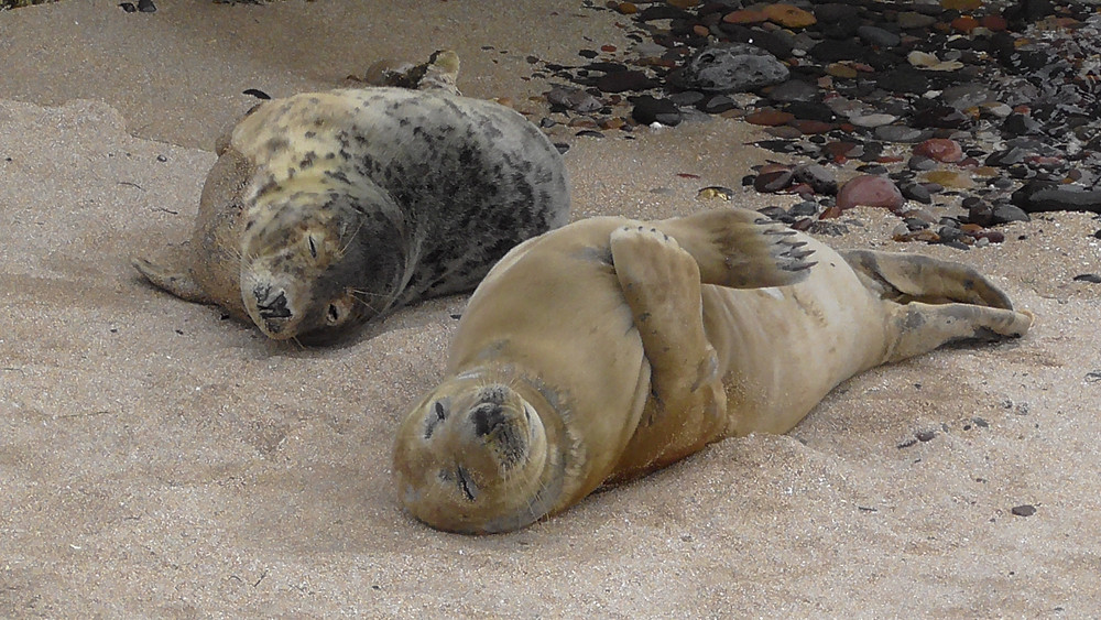 Grey Seals on the Farne Islands (Inner Farne, St. Cuthbert's Cove), Northumberland