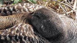 Eider (duck)