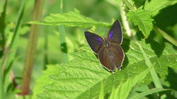 Purple Hairstreak butterfly (female)