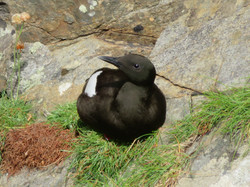 Tystie, (Black Guillemot), Burravoe, Shetland