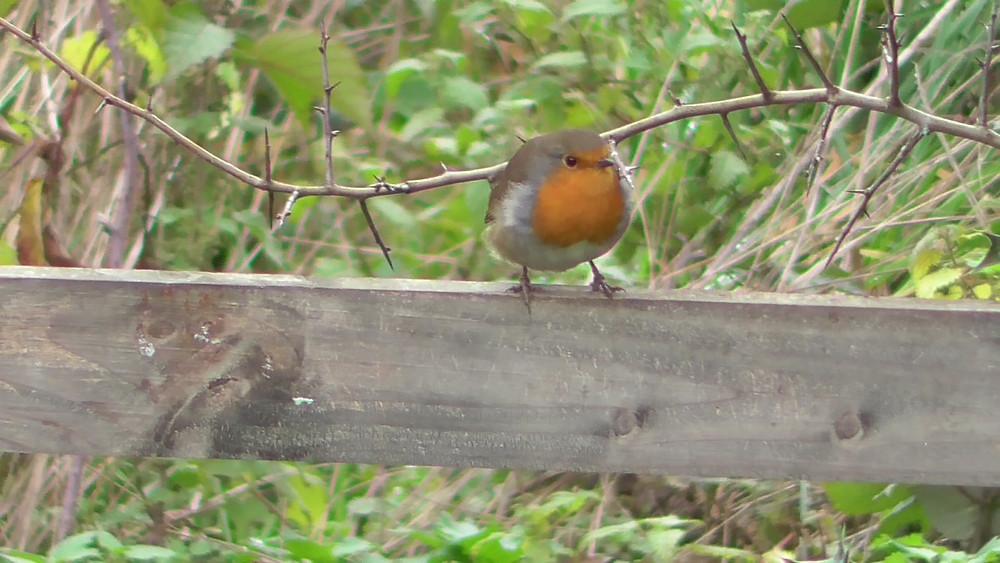 Robin, Ripley, Surrey