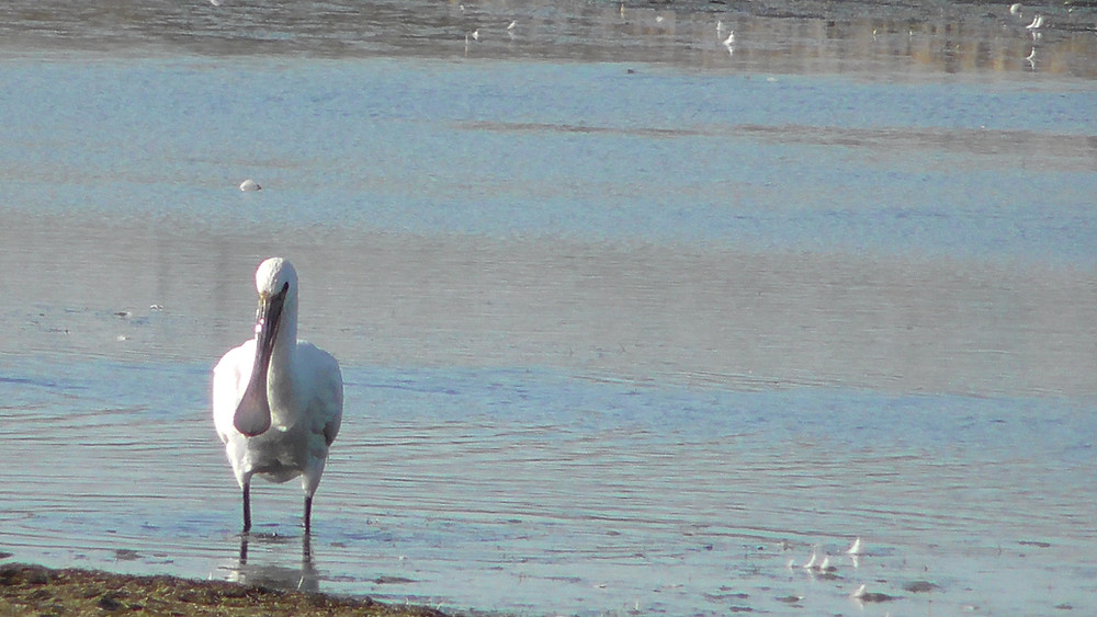 Spoonbill, Rye Harbour NNR, East Sussex