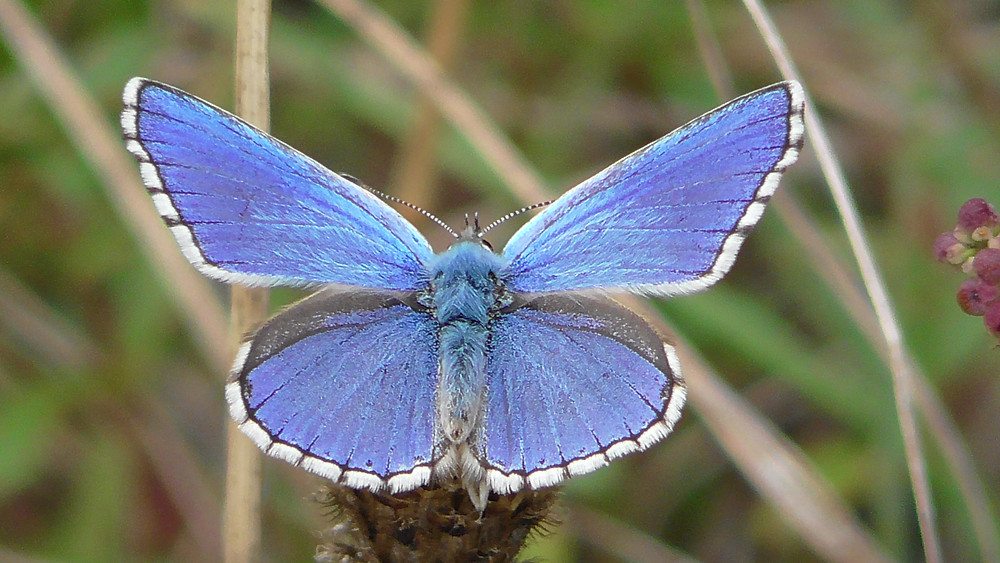 Adonis Blue butterfly, Ranmore Common, Surrey