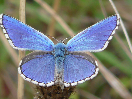 Adonis Blues on Ranmore Common