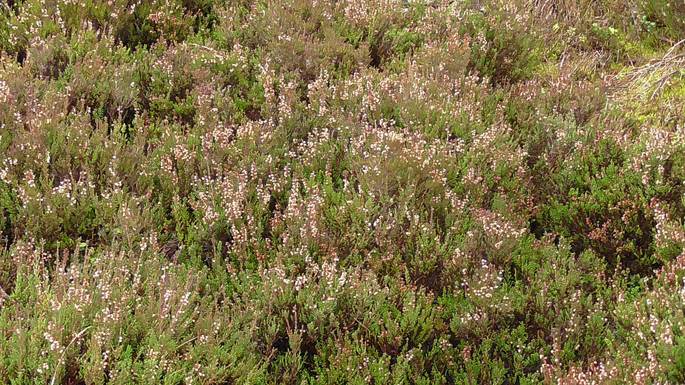 Heather growing on the Stiperstones