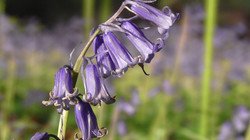 Bluebell (English)
