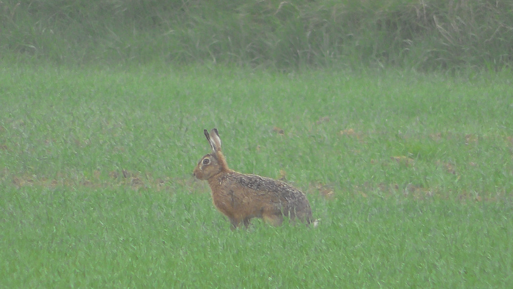 Brown Hare, Craster, Northumberland