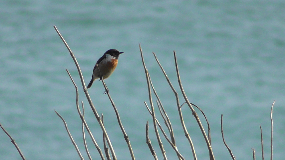 Stonechat, Seaford, East Sussex