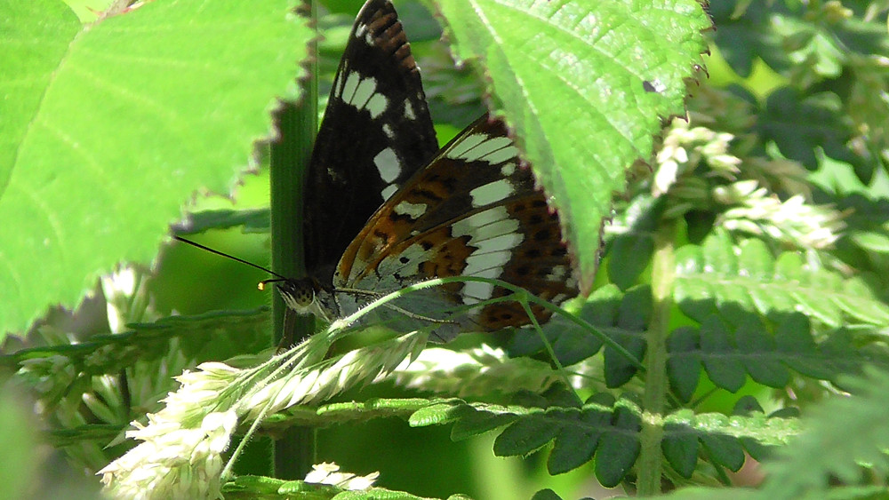 White Admiral butterfly, Bookham Common, Surrey