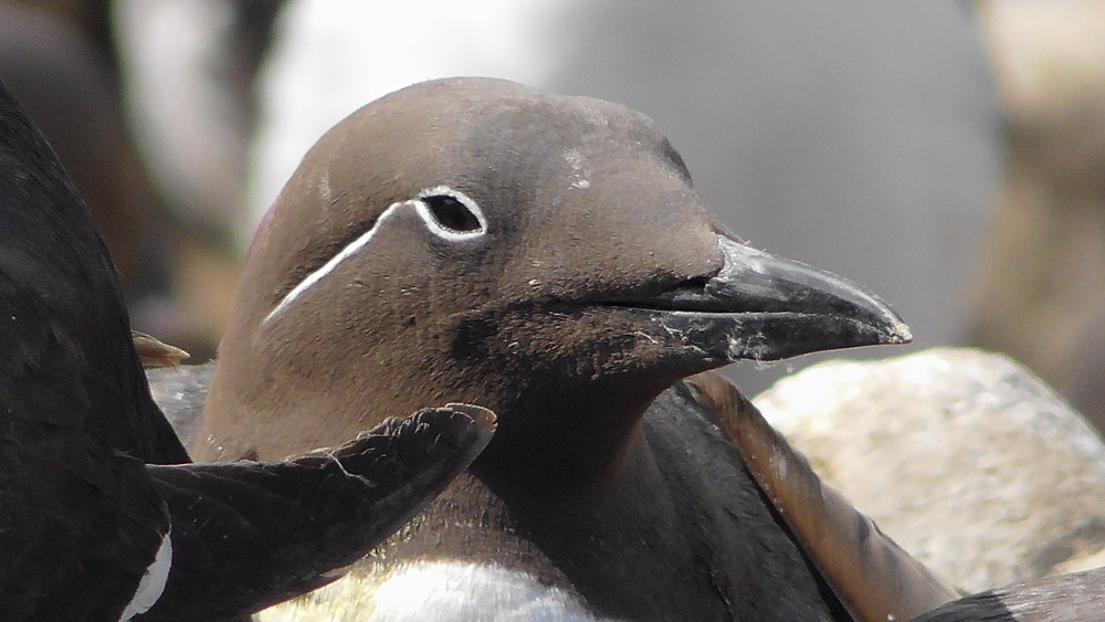 Common (Bridled) Guillemot on the Farne Islands, Northumberland