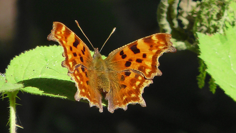 Comma butterfly, Bookham Common, Surrey
