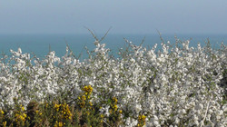 Blackthorn & Gorse