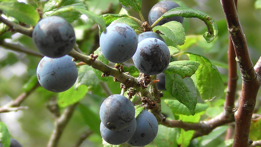 Blackthorn Berries (Sloes)