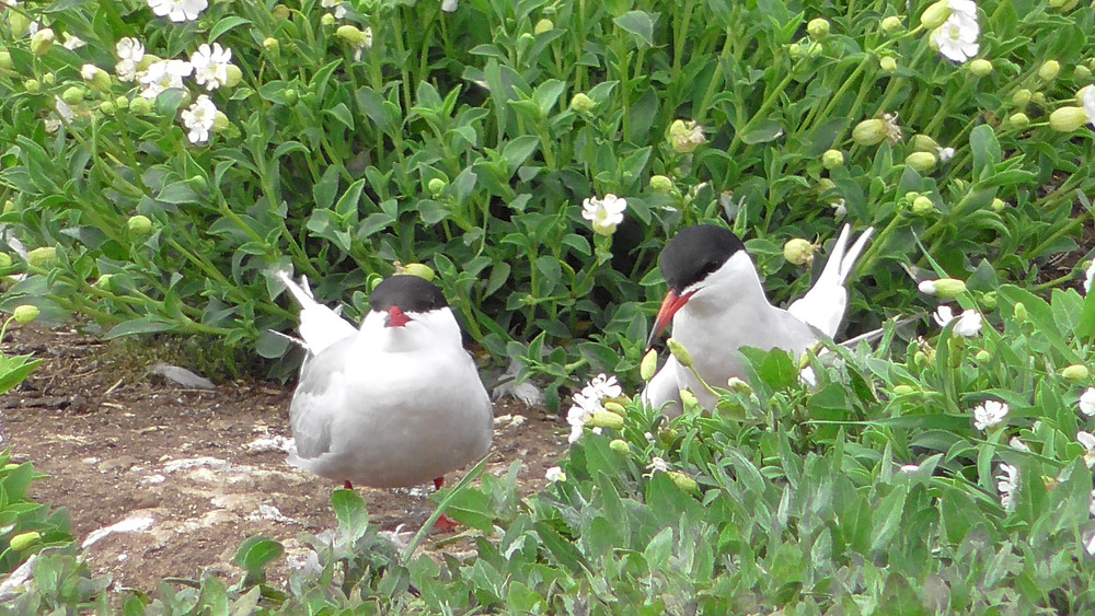 Common Terns on the Farne Islands (Inner Farne), Northumberland
