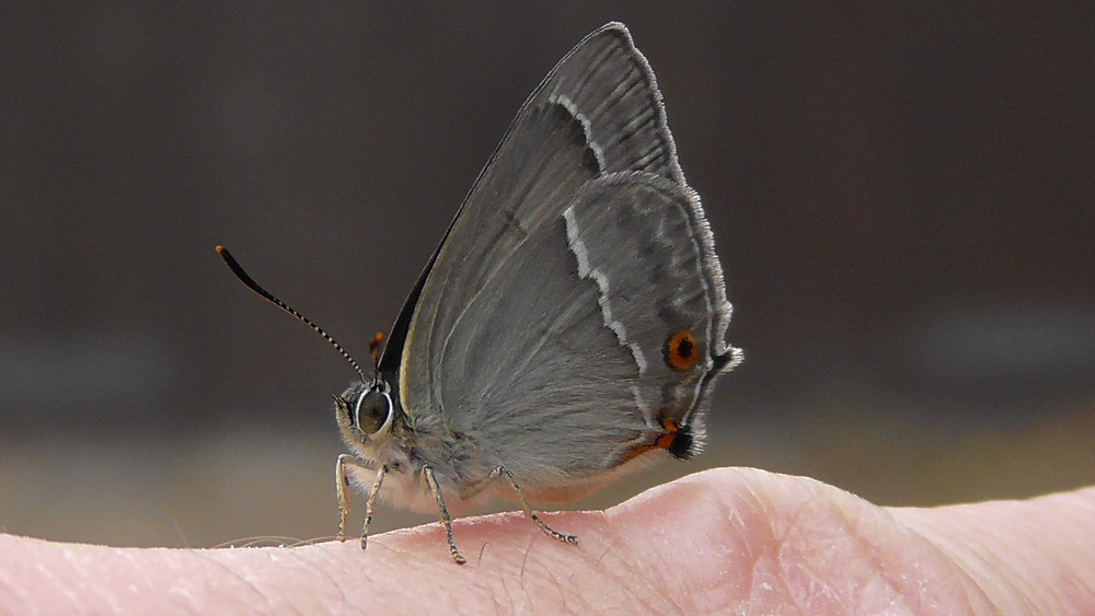 Purple Hairstreak butterfly on my finger, Ripley, Surrey