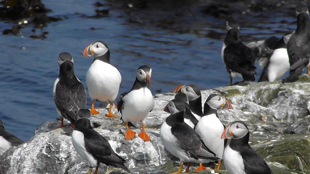 Puffins on the Farne Islands (Staple Island), Northumberland