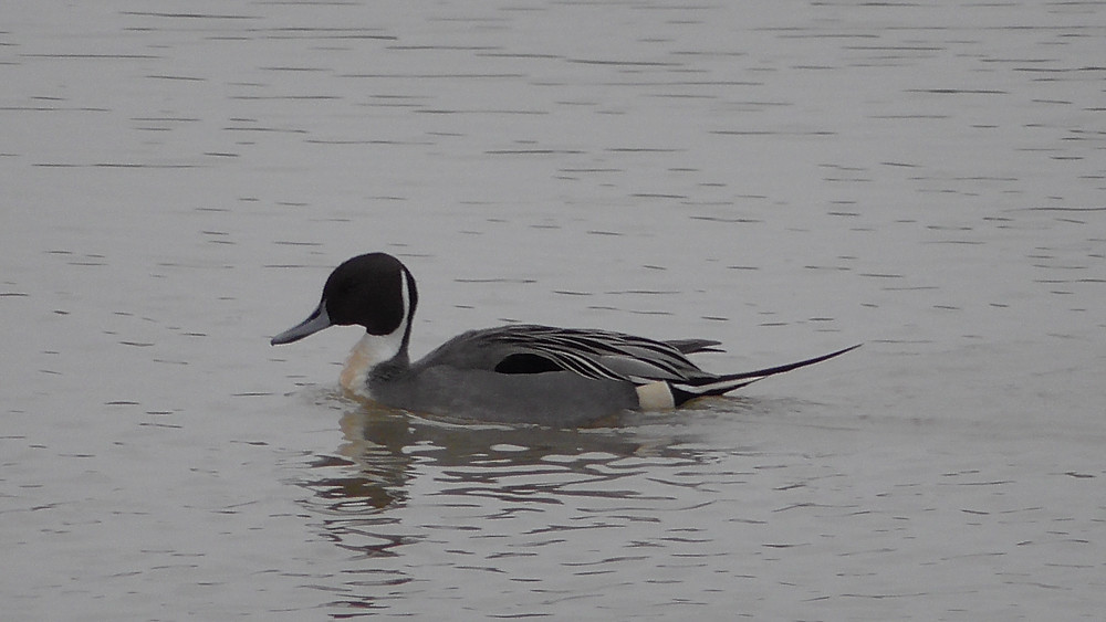 Pintail at Pulborough Brooks RSPB NR, West Sussex